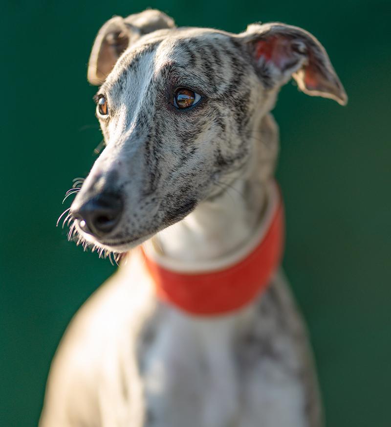 Greyhound - Portrait of a pretty Whippet bitch