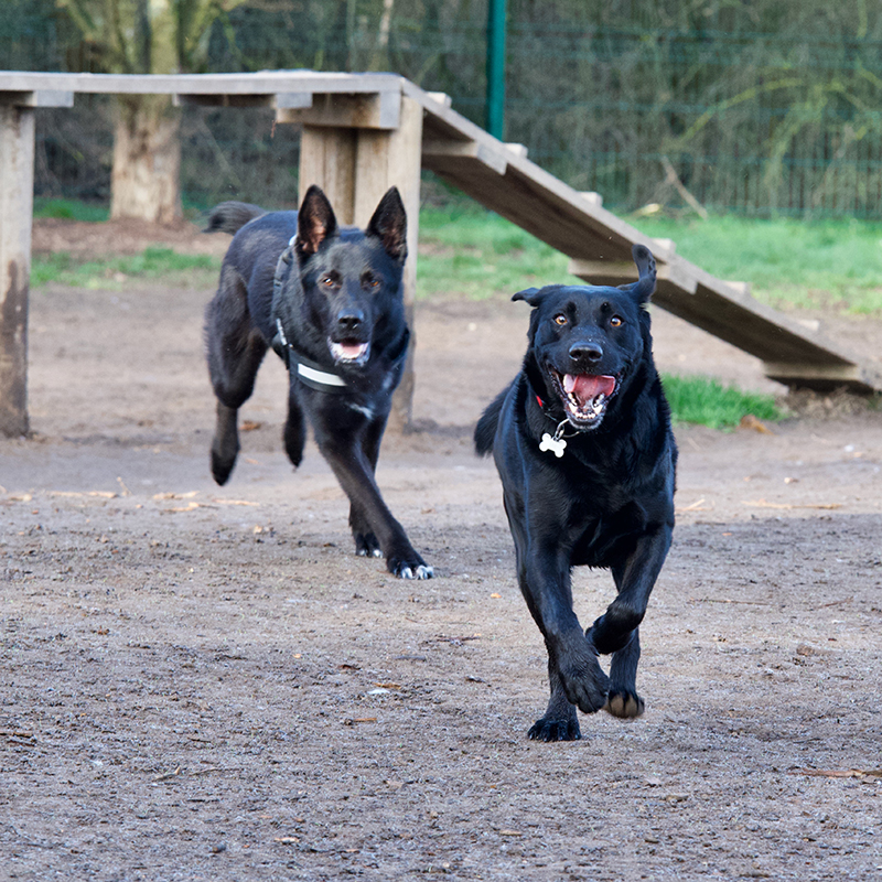 2 black dogs racing in a off-leash dog park.