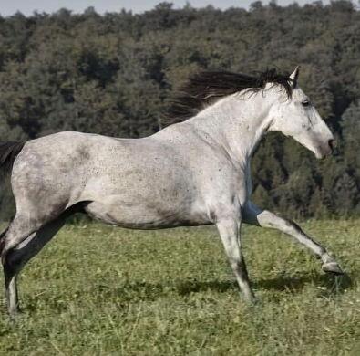strong-horse